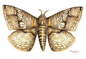 Real Owl Moth, Brahmaea Wallichii